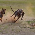 2-dogs-hunting-rabbit